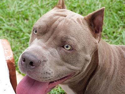 Perro Callejero Fue Agredido Por Dos Perros Pitbull