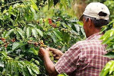 En Antioquia se necesitan 15 mil recolectores de café_opt