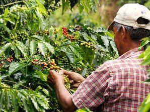 Trabajo si hay! En Antioquia se necesitan 15 mil recolectores de café.